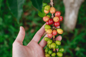 Photo of hand holding a branch of coffee cherry fruit with green background